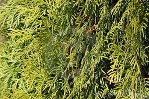 evergreen-leaves-stick-close-up-13923716